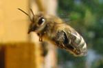honeybee.hive.150.jpg