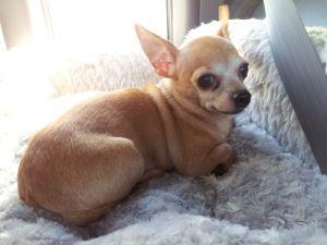 Peanut: Chihuahua, Dog; Vancouver, BC