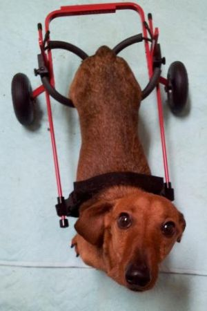 Sebastian: Dachshund, Dog; Vancouver, BC