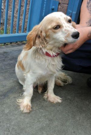 Polly: Cocker Spaniel, Dog; Vancouver, BC