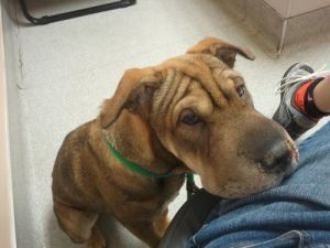 NEW! Molly!!: Shar Pei, Dog; Vancouver, BC
