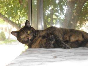Blossom: American Shorthair, Cat; Elk Grove, CA