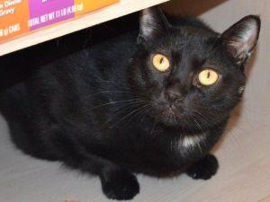 Posey: Bombay, Cat; Elk Grove, CA