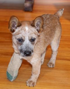 RyderPENDING: Australian Cattle Dog (Blue Heeler), Dog; Manchester, NH