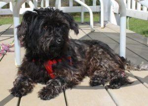 NJ - Virginia: Schnauzer, Dog; Bricktown, NJ