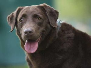 Dixie: Chesapeake Bay Retriever, Dog; Slinger, WI