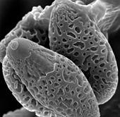 https://i1.wp.com/photos.pouryourheart.com/wp-content/uploads/2018/11/Austroboletus-Mutabilis-Spores.jpg?w=640