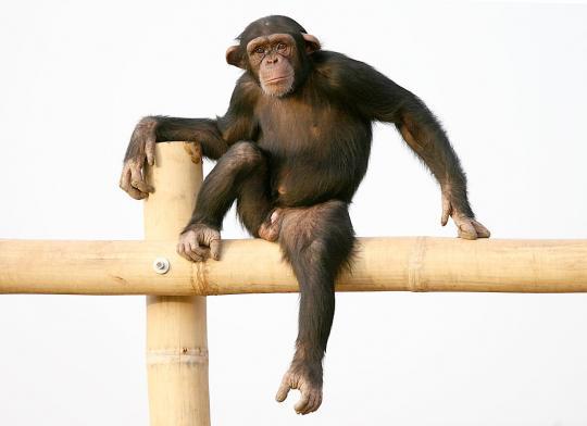https://i1.wp.com/photos.pouryourheart.com/wp-content/uploads/2018/12/Chimpanzee-3.jpg?w=640