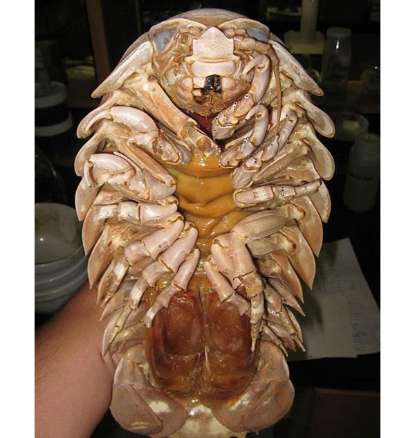 https://i1.wp.com/photos.pouryourheart.com/wp-content/uploads/2018/12/Giant-Isopod.jpg?w=640