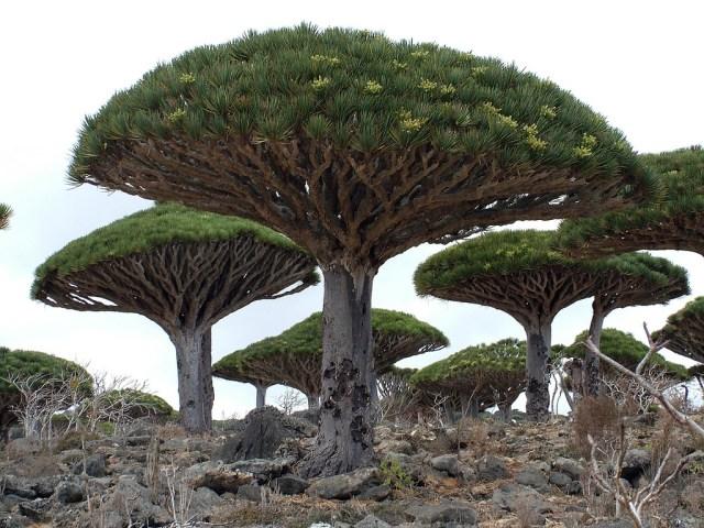 https://i1.wp.com/photos.pouryourheart.com/wp-content/uploads/2018/12/dragons-blood-tree-top-10-trees.jpg?w=640