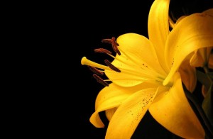 Yellow Latest Red Rose Wallpapers