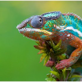 New Panther Chameleons HD Images Free fro Desktop