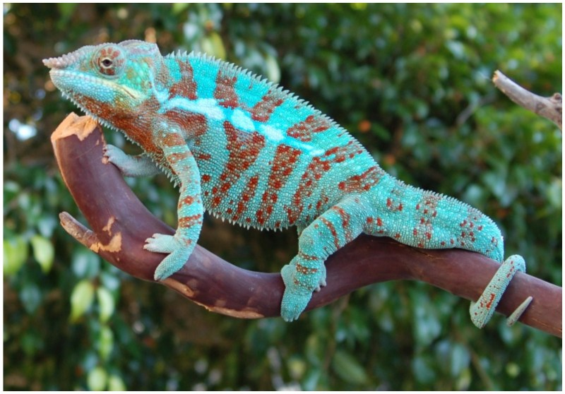 Panther Chameleons Latest 3D Pictures