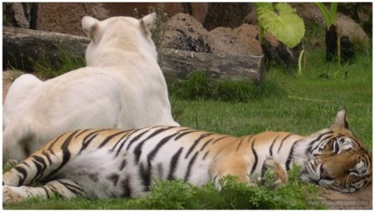 Tiger Lion zoo Full HD Images