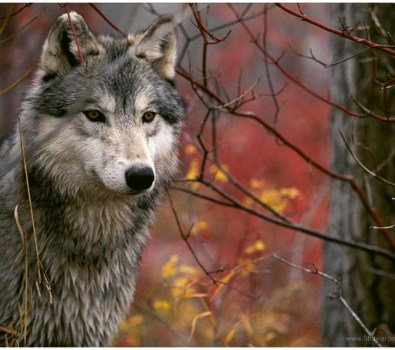 Red Wolf Wallpapers free Download