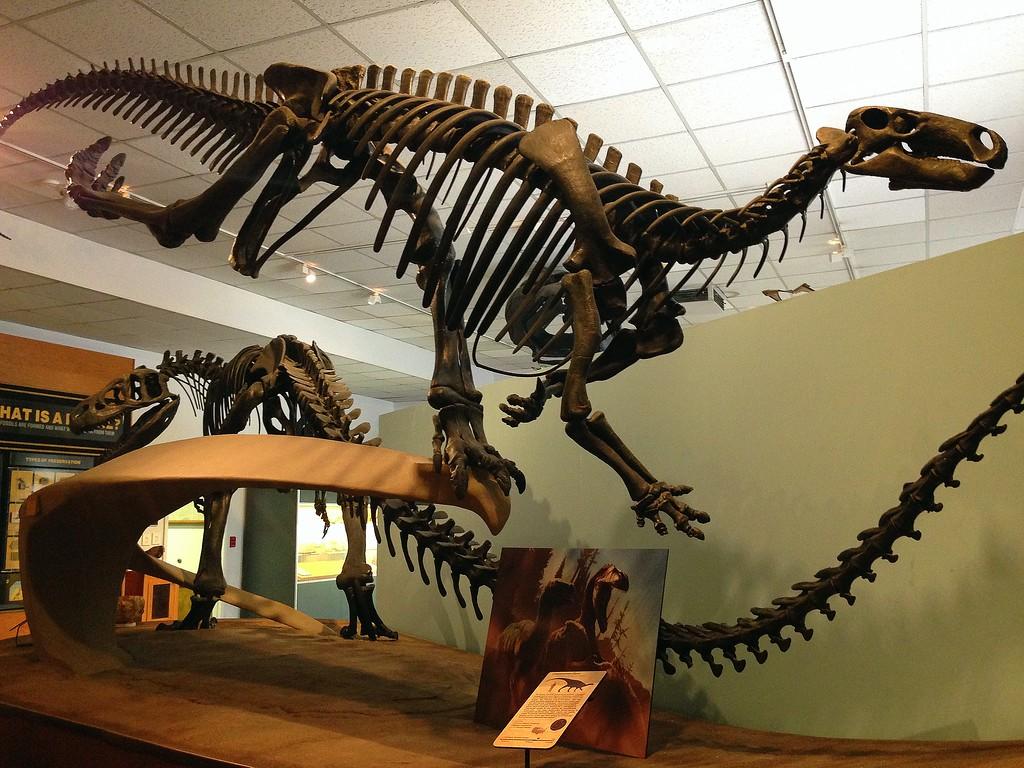 Dino Skeleton on Display at the BYU Museum of Paleontology, Utah
