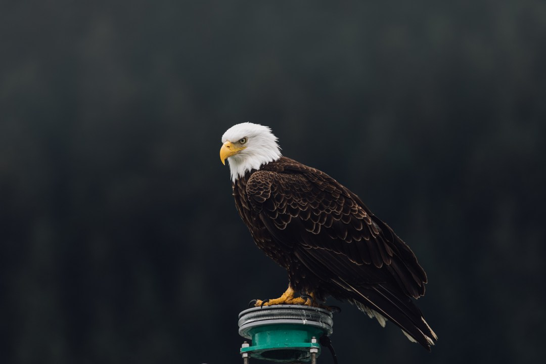 An Eagle spotted in Seward taken by Kimberly Kendall of ClickingwithKim