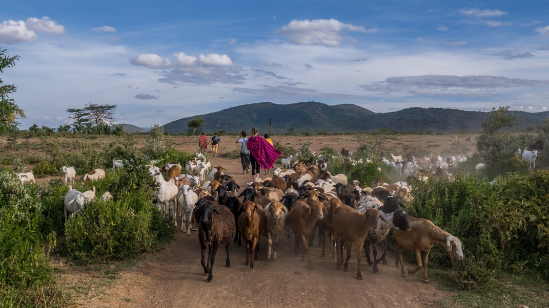 Walking the Maasai Mara in search of our camping spot for the night —we hit a goat traffic jam.