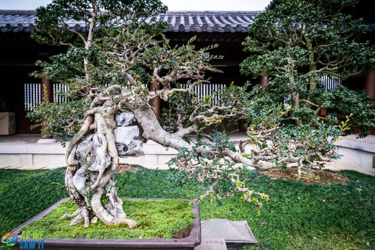 Incredible display of Bonsai trees