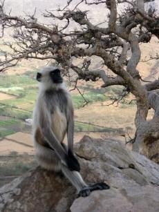 Brahma's Temple monkeys
