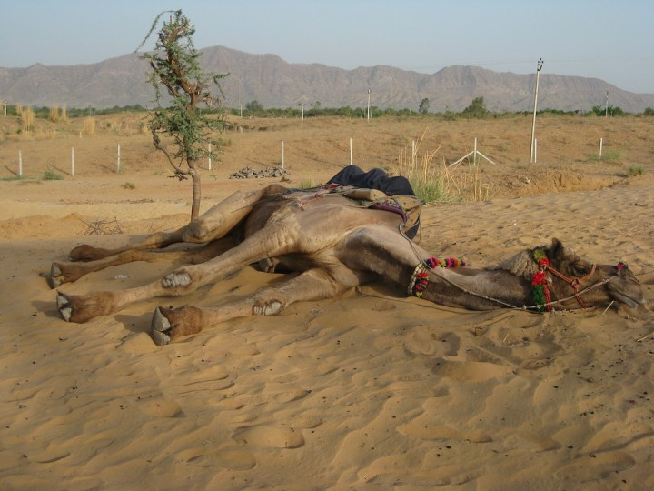 camel laying in the sand