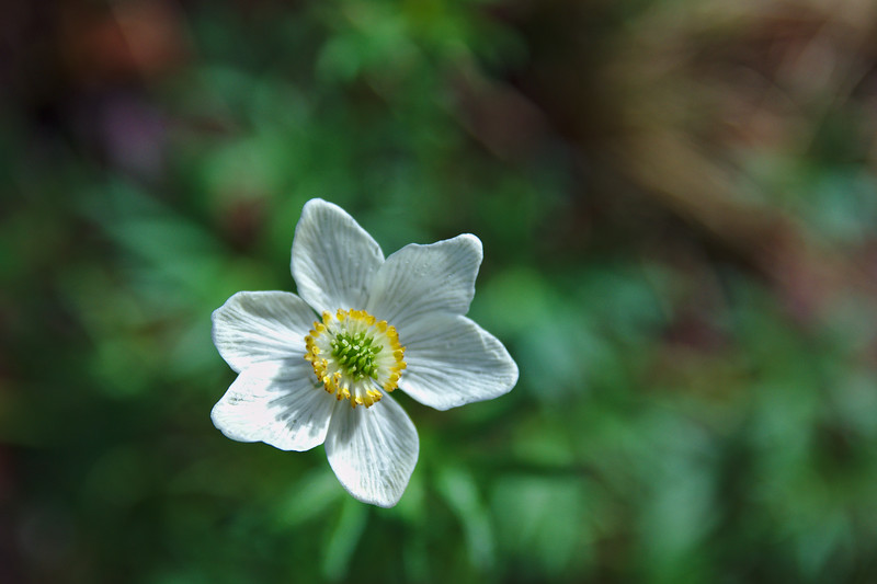 Narcissus-flowered Anemone – Anemone narcissiflora
