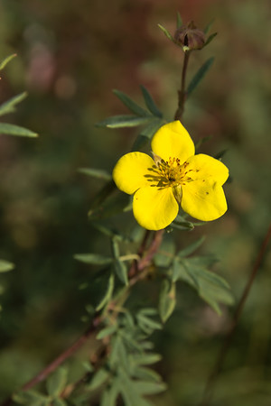 Shrubby cinquefoil flower blooming in the White Mountain National Recreation Area of the interior of Alaska.