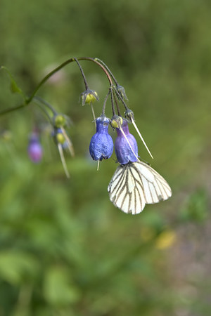 bluebell flowers with a butterfly