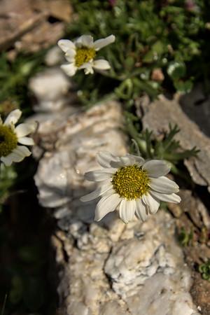 Arctic Daisy – Chrysanthemum arcticum