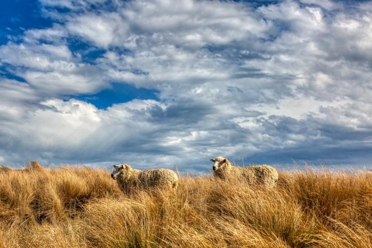 New Zealand Sheep, Christchurch port hills