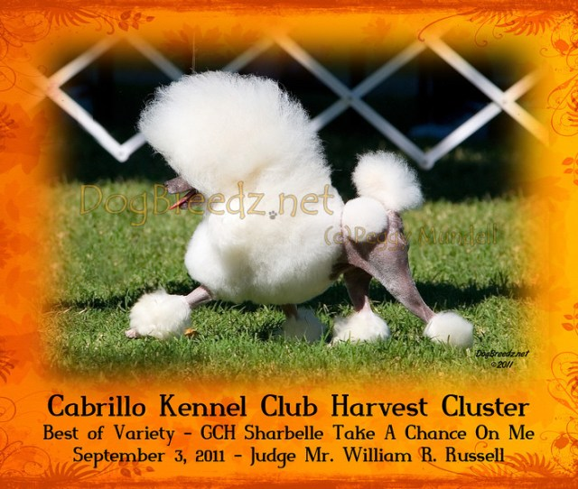 Best Of Variety Poodle Toy 11 Gch Sharbelle Take A Chance