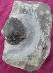 #2275 Terebratula latilinguis (=Gruenewaldtia l.) (1,6 cm)