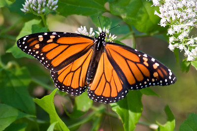 Yellow monarch butterfly — Stock Photo © thawats #78214126