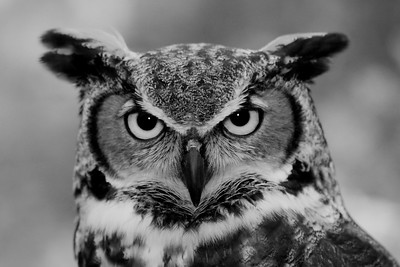 Black and White of a Great Horned Owl