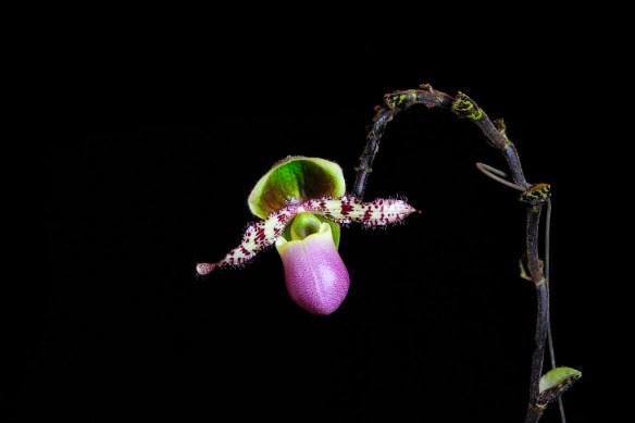 Paphiopedilum liemianum