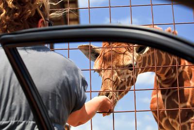 Feeding the baby giraffe
