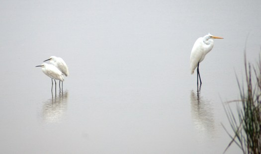Great Egret and Two Snowy Egrets - BNWR