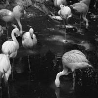 16 Zoo Atlanta 2016-Flamingoes