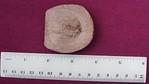 #2268 Kettneraspis pigra + cephelon of probable Struveaspis sp. (new location)