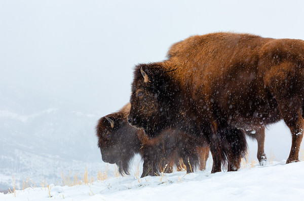 Bison standing in the snow