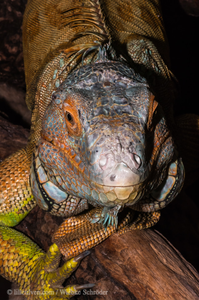 The green iguana is watching you...