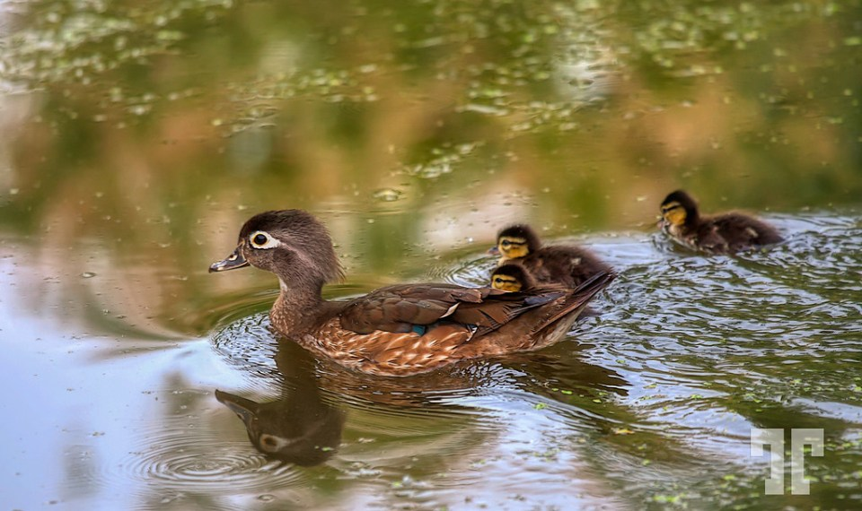 Ducklings floating on a pond