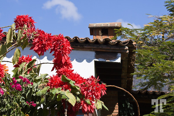 Poinsettias in Oaxaca, Mexico