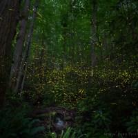 Synchronous Fireflies of Smokies