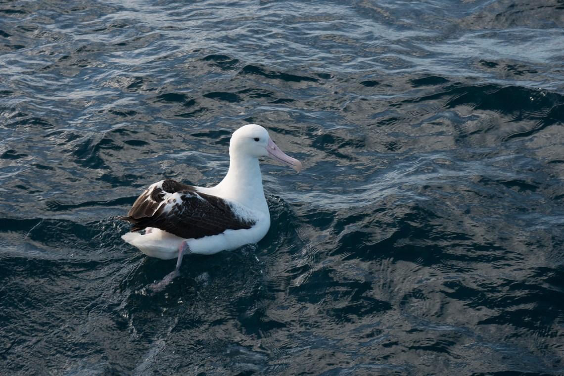 Northern Royal Albatross...I think