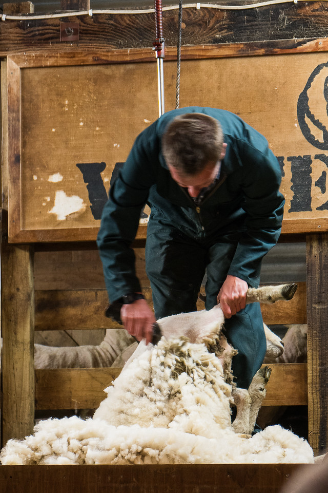 A farmer sheering a sheep