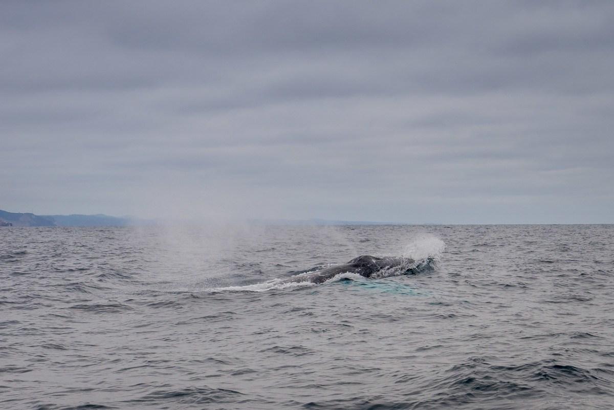 hvalsafari ved puerto lopez