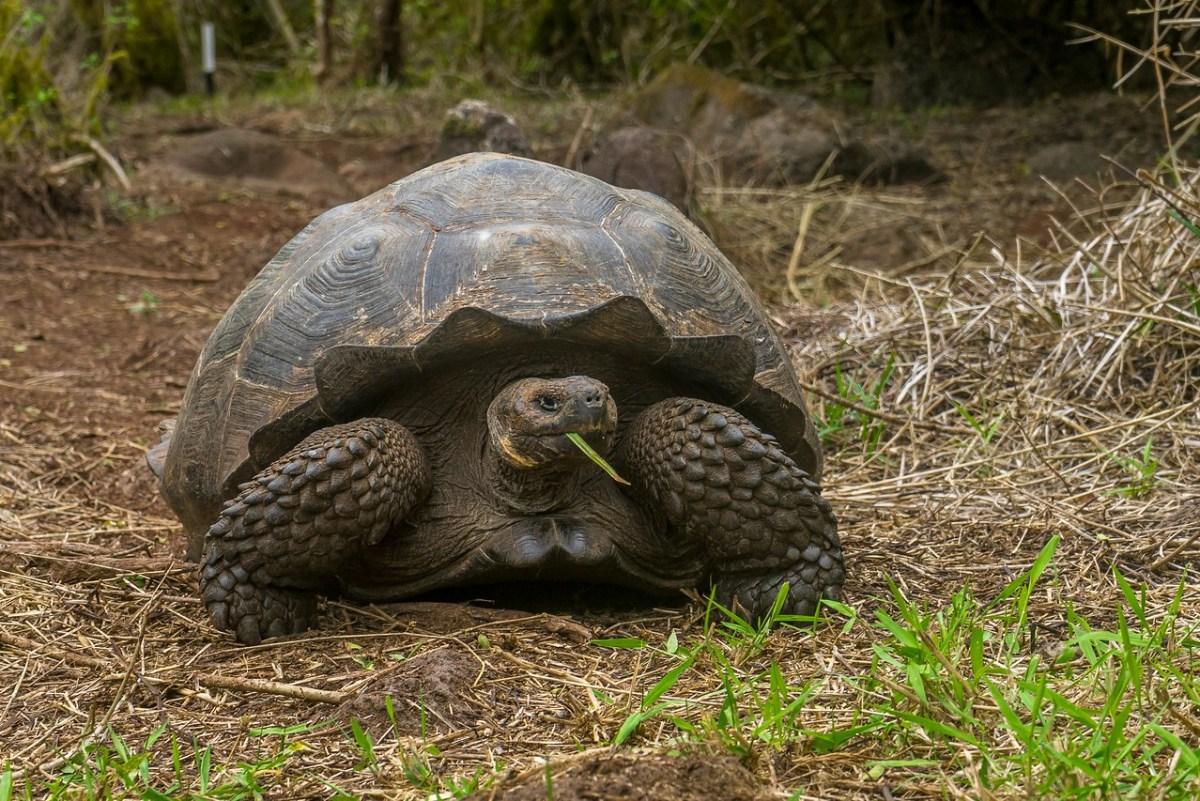 kæmpeskildpadde galapagos