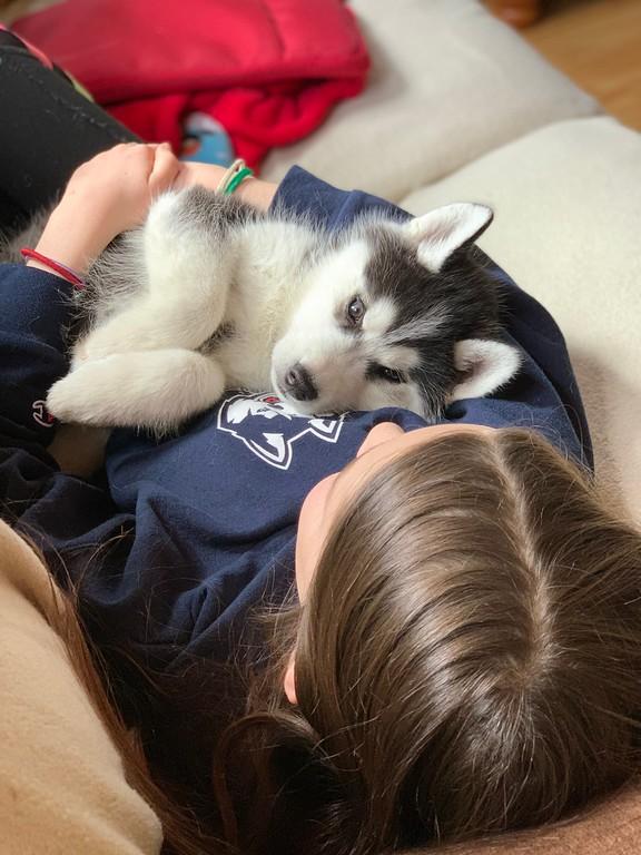 Uconn Husky puppy