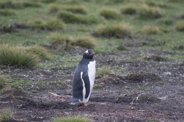 gentoo penguin Falkland Islands